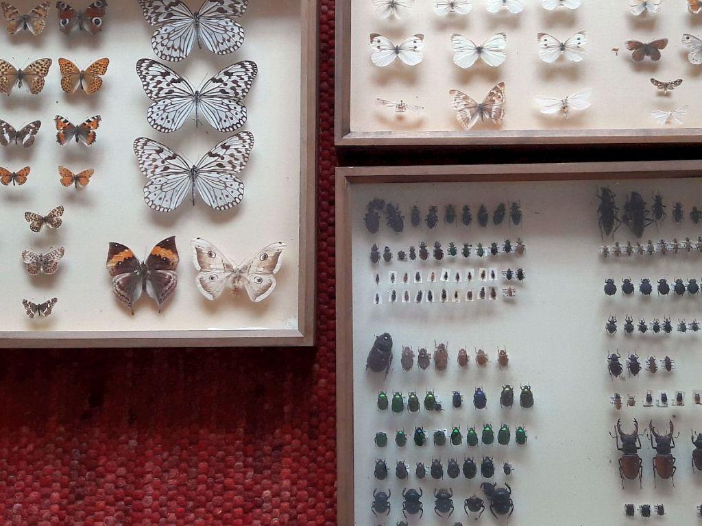 Präparierte Insekten, Käfer, Schmetterlinge