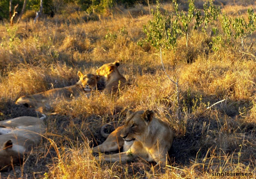 Löwen schlafen im Gras