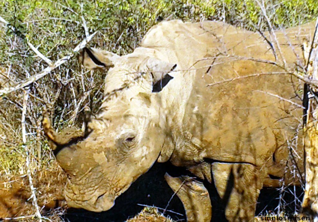Nashorn in Griffweite