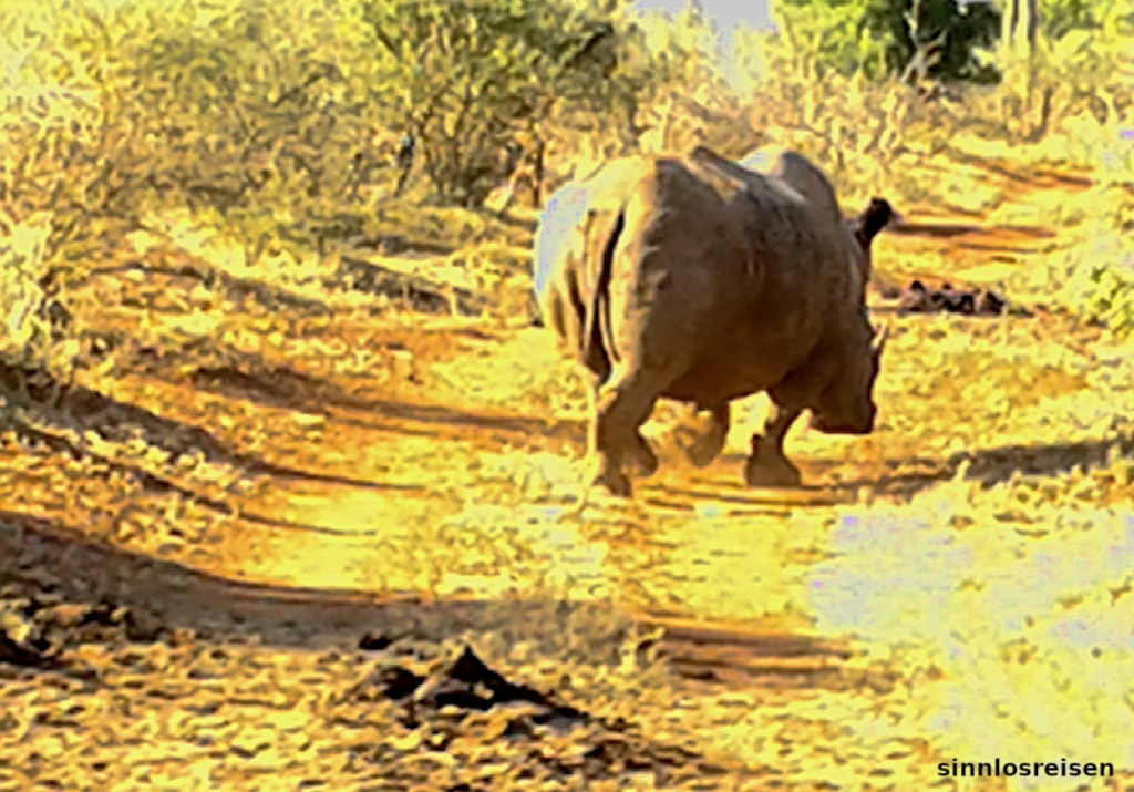 Nashorn von hinten