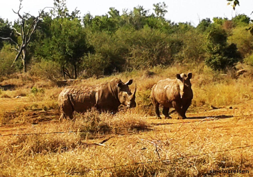Zwei Nashörner überlegen, ob ein Angriff lohnt