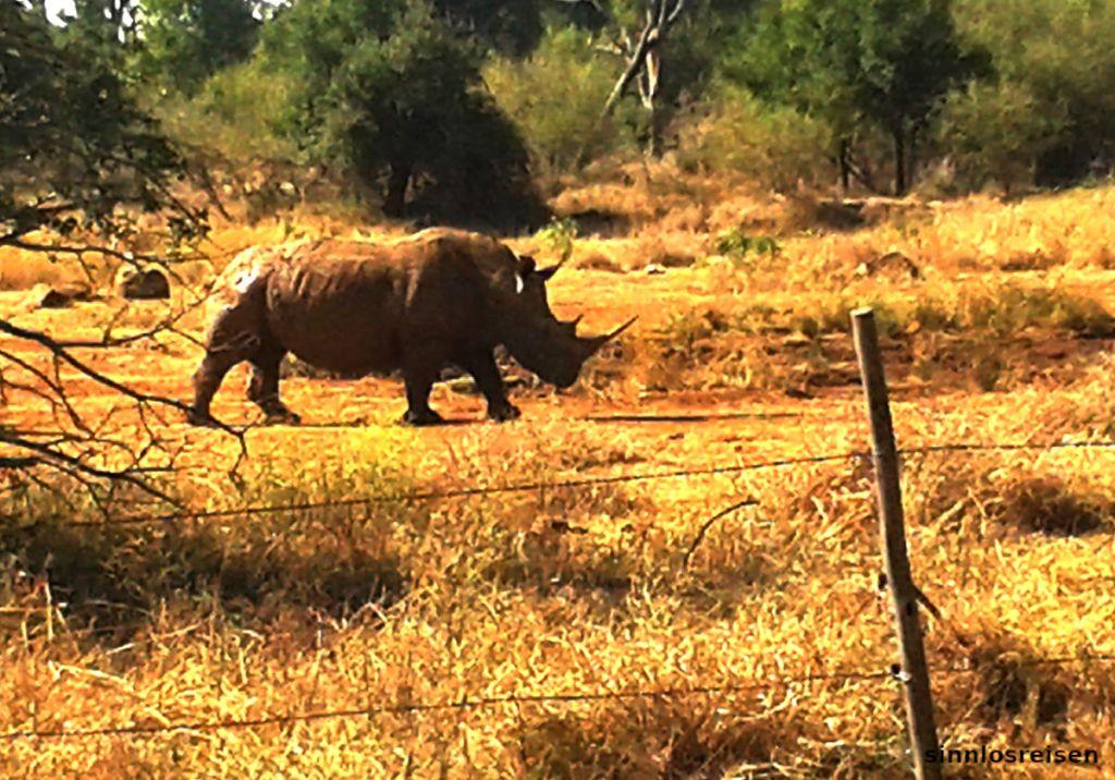 Nashorn hinter baufälligem Zaun