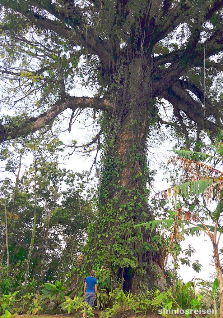 großer Ceiba Tree