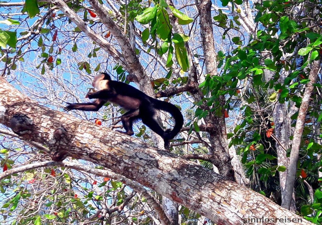 Affe klettert im Baum