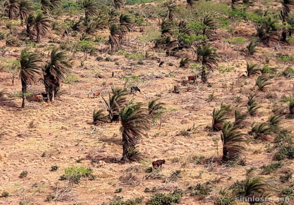 Weidende Kühe im Palmenwald